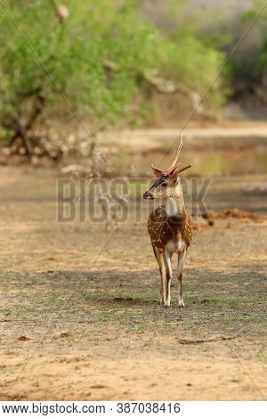 The Chital Or Cheetal (axis Axis), Also Known As Spotted Deer Or Axis Deer, Male With A Broken Antle