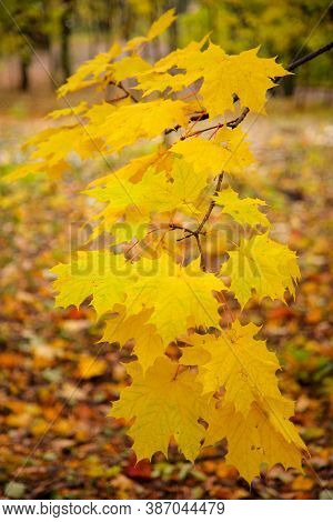 Tree Branch With Autumn Yellow Maple Leaves