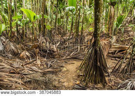 Tropical rainforest in Valée de Mai, Seychelles