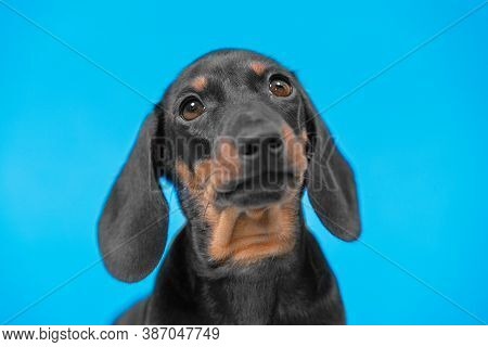 Close Up Portrait Of Cute Little Black And Tan Puppy Dachshund Looking Right To The Camera. Adorable