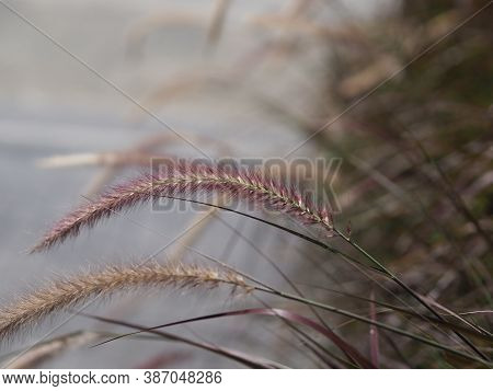 Gramineae Pennisetum Polystachyon Brown Color Flower Grass Axillary And Branched Inflorescence Set O