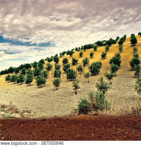 Olive Grove In Spain, Vintage Style Toned Picture