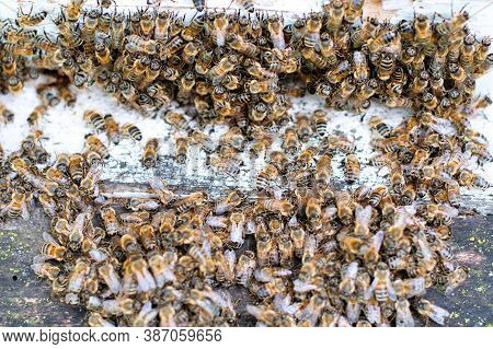 Bees At Old Hive Entrance. Bees Returning From Honey Collection To Yellow Hive. Bees At Entrance.