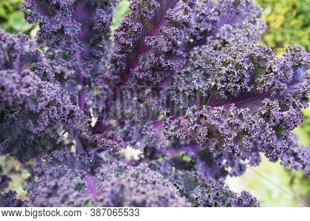 Kale Purple Cabbage Close-up. Selective Focus. His Other Names: Grunkol, Brunkol, Brauncol, Curly, D