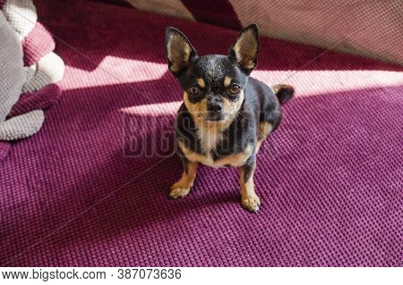 Portrait Of A Cute Chihuahua Looking At Camera. Blurry Background. Chihuahua At Home Looks Into The