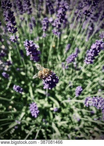 Closeup Of A Bee Pollinating Blooming Lavender Flowers In Afternoon Bright Sun. In Background Out Of