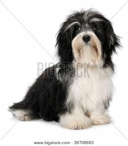 Cute Sitting Bichon Havanese Puppy Dog