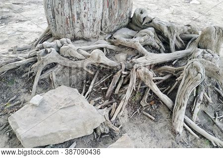 Tree Roots And Rock. This Is Cypress Taxodium Distichum At The Bottom Of A Dry Lake.