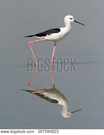 Black-winged Stilt (himantopus Himantopus), And It's Reflection Seen In The Calm Shallow Waters.