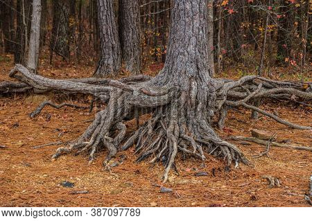 Large Tree Trunk With Its Knotty Twisted Roots Exposed Closeup In The Foreground With The Colorful W