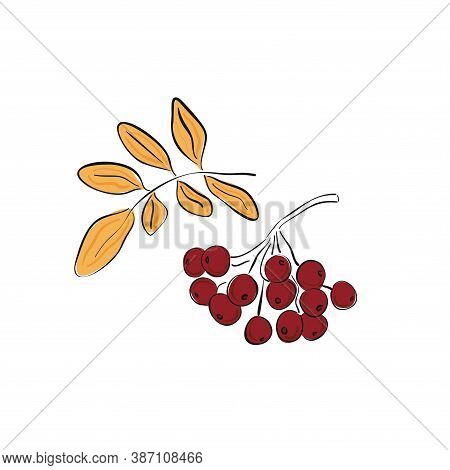 Autumn Hand Drawn Rowan Branch With Ripe Berries And Leaves Isolated On White Background. Rowan. Vec