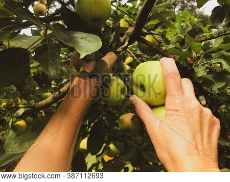 Apples Grow On A Tree Among Green Leaves. Apple Orchard With Fruits On The Tree, Cooking Apple Dishe
