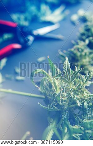Trim Before Drying. Harvest Weed Time Has Come. Growers Trim Cannabis Buds. Mans Hands Trimming Mari