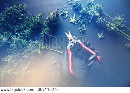 Growers Trim Cannabis Buds. Trim Before Drying. Growers Trim Their Pot Buds Before Drying. Harvest W