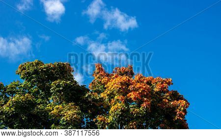 Autumn View Of Maple Leaves Against A Blue Sky. Autumn Trees And Clear Blue Sky