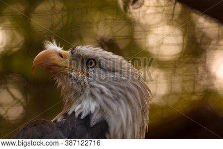 American Eagle. Majectic White Head Wildlife Predatory Bird. Closeup Look Of Falcon With Brown Backg
