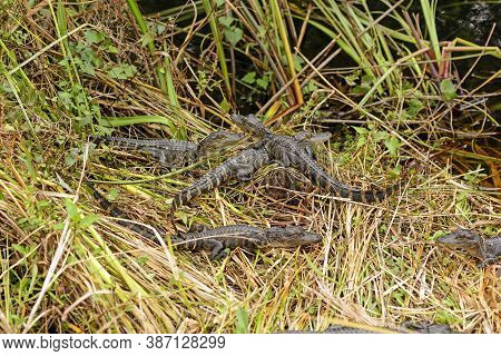 Group Of Baby Alligators Along A Wetland Shore In Shark Valley In Everglades National Park In Florid