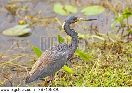 Tricolored Heron On A Wetland Pond In Shark Valley In Everglades National Park In Florida