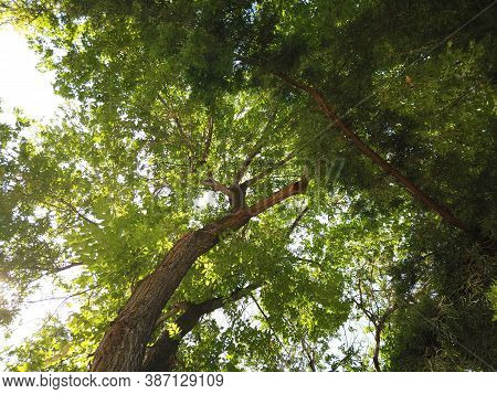 Looking Up At Tree Leaves While Lying On Earth