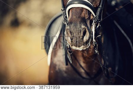 Nose Sports Brown Horse In The Bridle. Portrait Stallion  In The Double Bridle. Horse Muzzle Close U