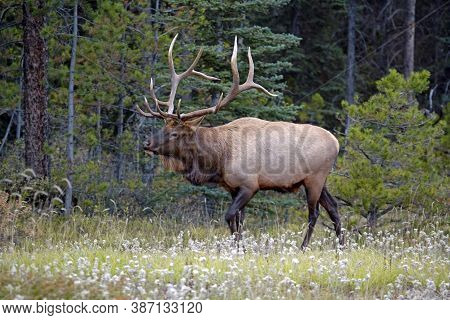 Elk Bull, Large Antlers Walking In A Meadow At Edge Of Pine Forest.
