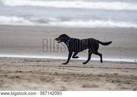 Happy Playful Black Labrador Retriever Runs And Trots On The Sand On The Beach