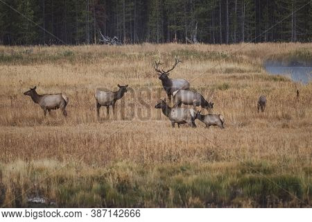 Bull Elk Among Many Female Cow Elks In Yellowstone National Park During The Fall Rut