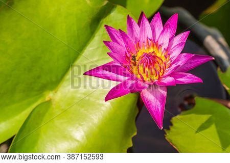 Pink Lotus Flowers Bloom In The River On The Background Of Green Lotus Leaves, Bees Perch The Petals