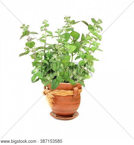 Branch of peppermint with green leaves. Sprigs of mint in clay flowerpot. Peppermint bush in a flower pot. Isolated on white background