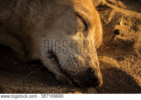 Close Up Portrait Of An Indie Stray Dog Sleeping On Sand During The Golden Hour