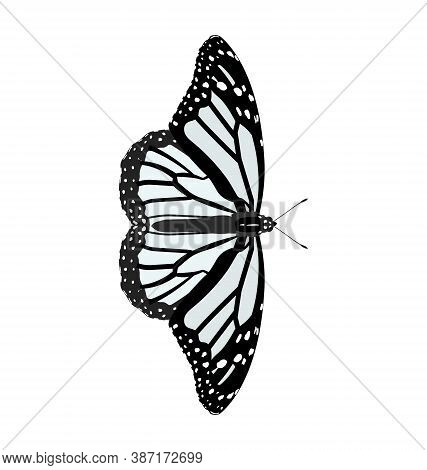 Danaus Plexippus - Monarch Butterfly - White Morph - Dorsal View - Flat Vector Isolated