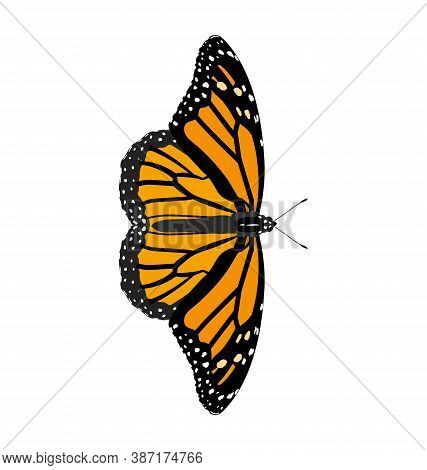 Danaus Plexippus - Monarch Butterfly - Female - Dorsal View - Flat Vector Isolated