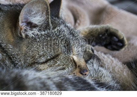 The Cat's Ear Is Close-up. The Concept Of Ear Diseases In Cats And Kittens, Otitis, Ear Mite Rhiniti