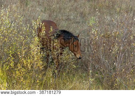 A Brown Horse Stands In Dense Willow Thickets And Eats Grass. Wild Horse In Its Natural Environment.