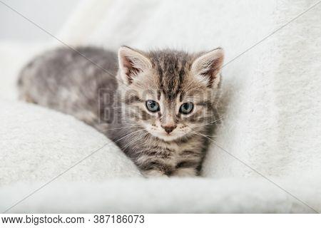 Striped Tabby Kitten. Portrait Of Beautiful Fluffy Gray Kitten. Cat, Animal Baby, Kitten With Big Ey