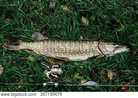 Great Catch, Pike With Spinning Lies On Grass. Fish, Spoon. Perch On Hooks. Fishing Bait. Close Up.