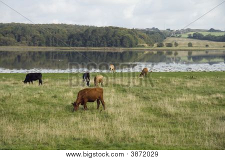 Cattle In The Meadow