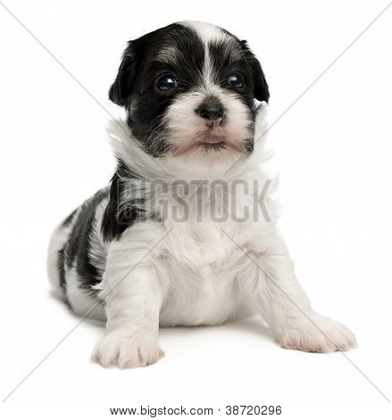 Cute Little Havanese Puppy
