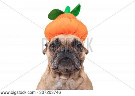 French Bulldog Dog Dresses Up With Funny Halloween Pumpkin Hat On White Background