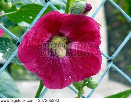 Purple Pink Burgundy Hollyhock Fmallow Malva Flower At Garden Green Leaves Metal Fence