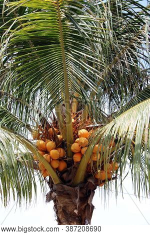 Orange Coconut On The Coconut Tree. Fresh Young Coconut, Tropical Fruits Are An Ingredient In Desser