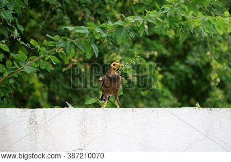 Mynas Bird On The White Wall And Background The Branch Of Green Tree. The Acridotheres Mynas Are Gen