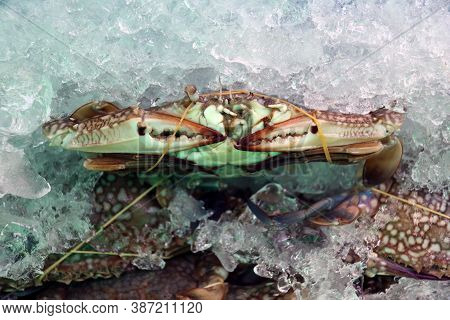 Blue Swimmer Crabs Rubber Band In Ice.  Sometimes Called 'blue Manna'. They Are Powerful Swimmers An