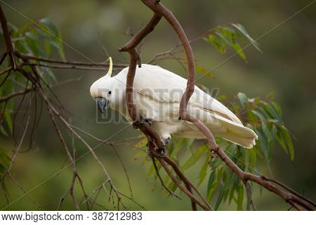 Sulphur Crested Cockatoo On A Gum Tree Branch In Bush Land