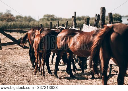 A Herd Of Horses View From The Rear. Beautiful Brown And Dark Horses Eat Hay Standing In The Paddock