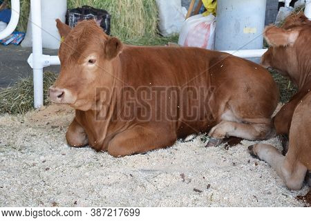 A Bull Of Red Angus, Limousin Cattle Breed Raised For High Quality Beef Meat Is Ruminating, Resting