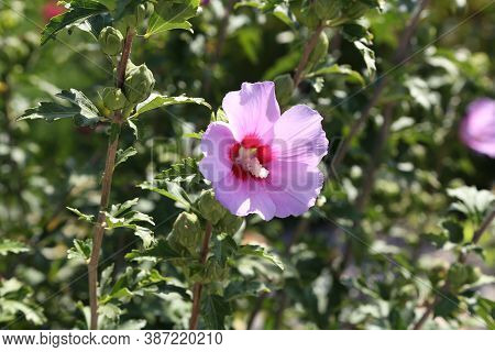 Beautiful Sweet Pink Hollyhock Flower With Green Background
