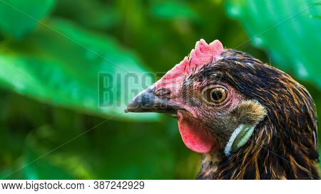 Single, Female Brown Hen Of Domesticated Chicken (gallus Gallus Domesticus). Looking For Food Betwee
