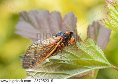 A Recently Emerged Cicada Hangs Precarious From A Leaf.