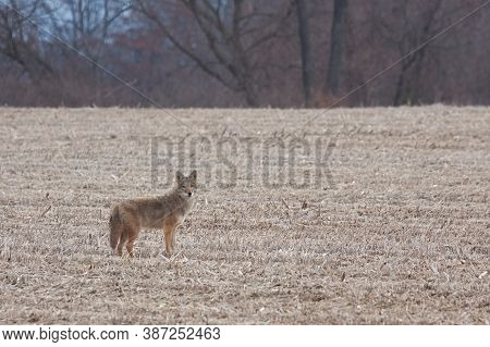 A Solitary Coyote Stands In A Recently Plowed Corn Field Before It Trots Of Into The Distant Hedge R